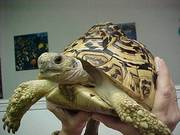 Female African Leopard Tortoise For Sale